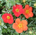 Potentilla fruticosa Marian Red Robin ('Marrob')