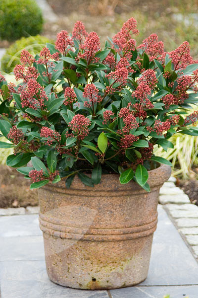 Japanese skimmia (male)