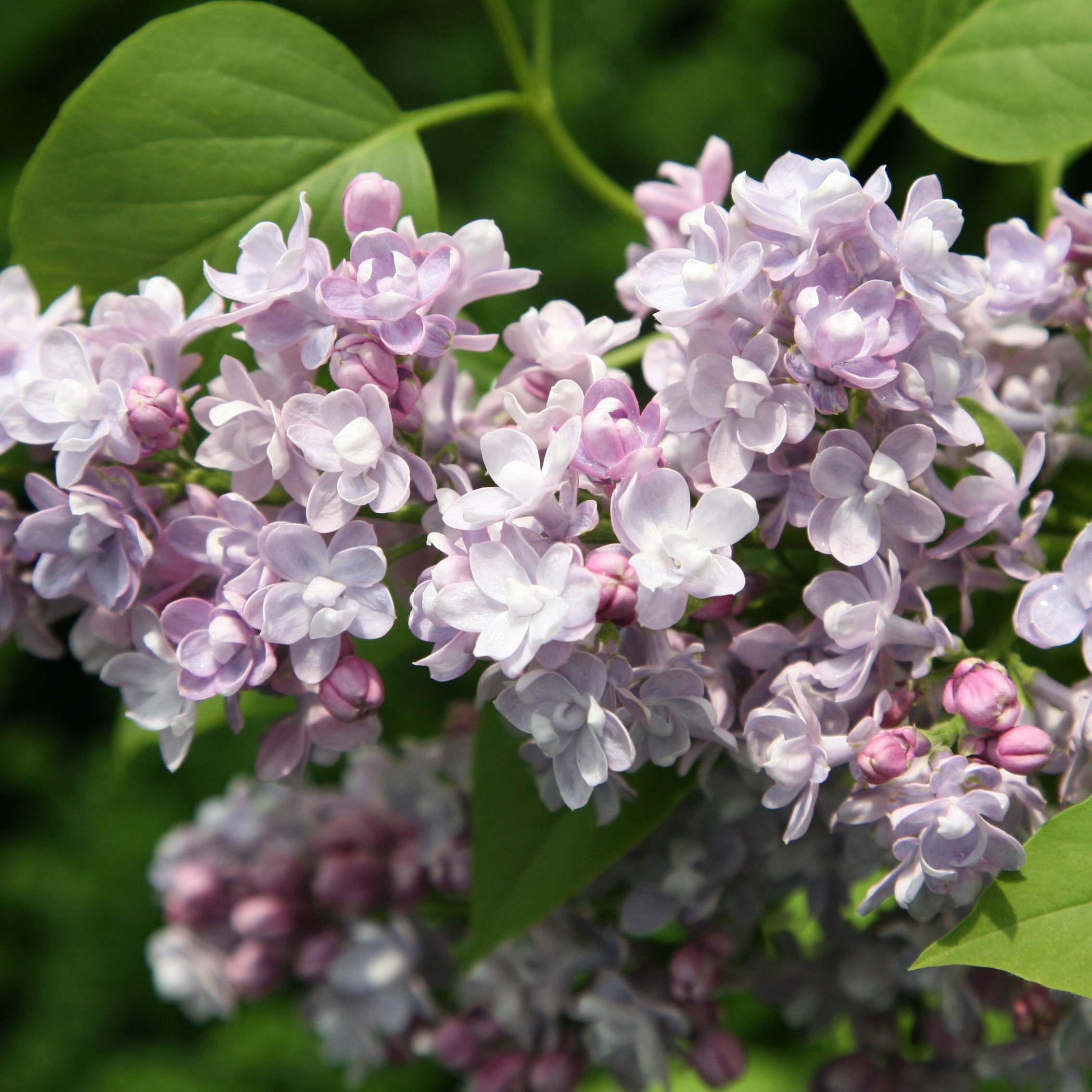 Buy Common Lilac Syringa Vulgaris Katherine Havemeyer