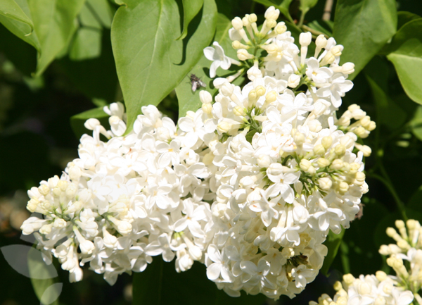 common lilac