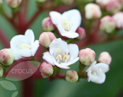 Click to view product details and reviews for Viburnum Tinus Laurustinus.