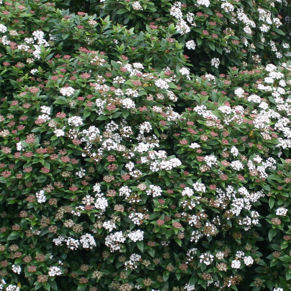 Buy Laurustinus Viburnum Tinus Eve Price Delivery By