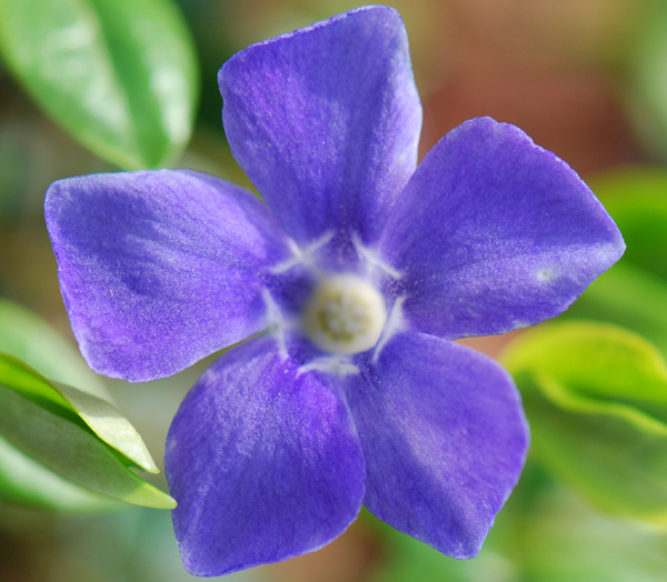 greater periwinkle
