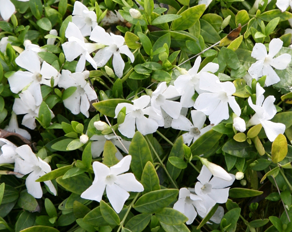 buy lesser periwinkle vinca minor f alba 39 gertrude jekyll. Black Bedroom Furniture Sets. Home Design Ideas