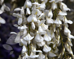 Click to view product details and reviews for Wisteria Sinensis F Alba Chinese Wisteria.
