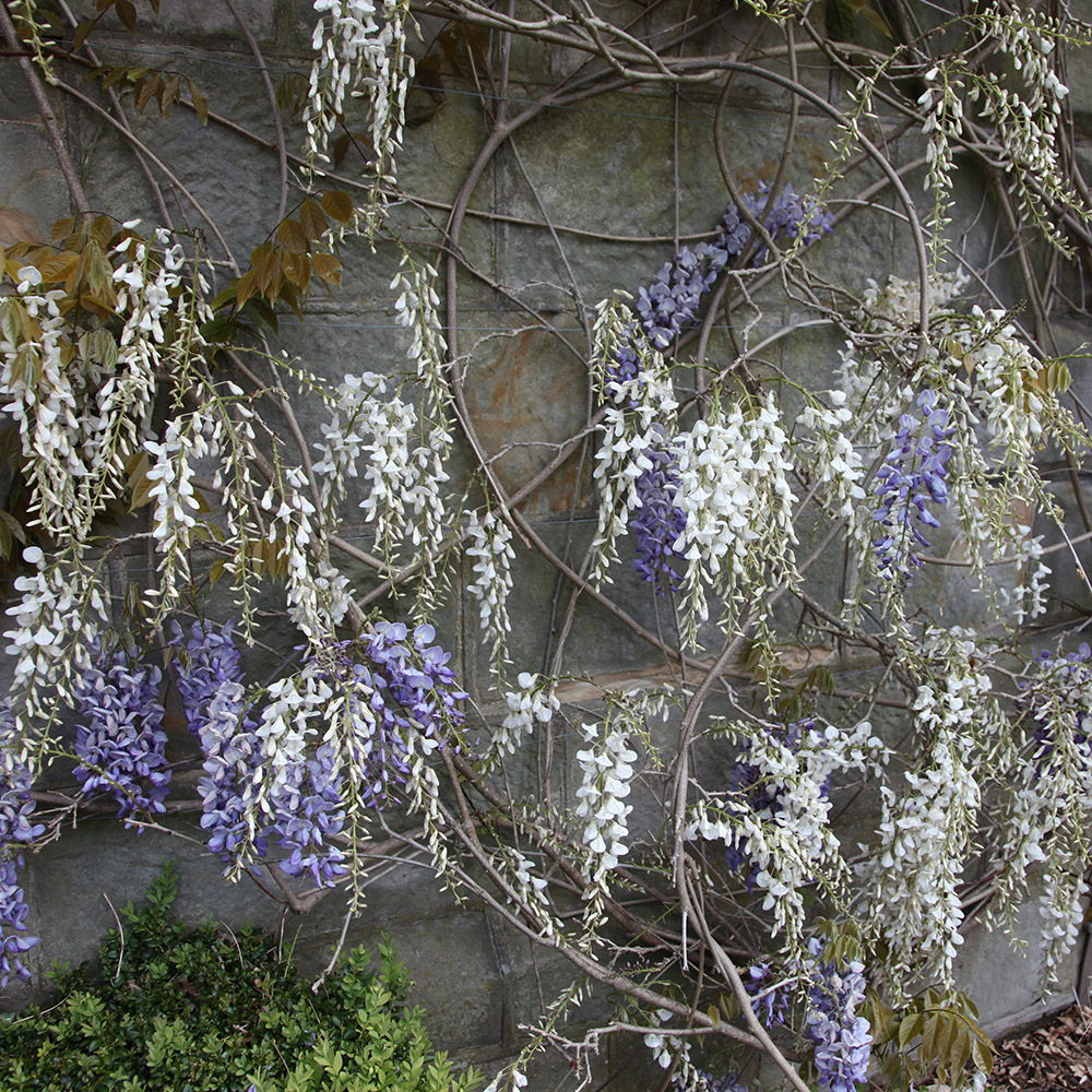 Buy Chinese Wisteria Wisteria Sinensis Alba Delivery By