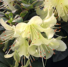 Rhododendron Princess Anne
