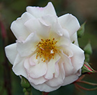 rose Penelope (shrub)