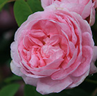 rose Queen of Denmark (shrub)