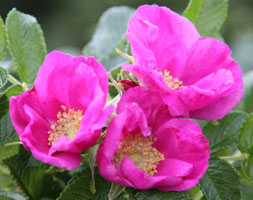 Click to view product details and reviews for Rosa Rugosa Aposrubraapos Red Japanese Rose Shrub.