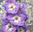 Delphinium Cameliard Group