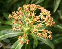 Euphorbia Mellifera (Honey Spurge)