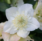 Helleborus niger Harvington hybrids double-flowered
