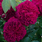 Rosa William Shakespeare 2000 ('Ausromeo') (PBR)