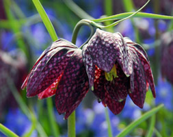 Click to view product details and reviews for Fritillaria Meleagris Snakeaposs Head Fritillary Bulbs.