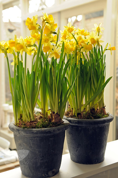 miscellaneous daffodil bulbs