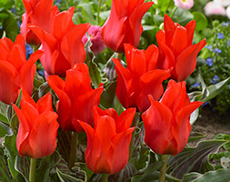 Tulipa andapos;Red Riding Hoodandapos; (Greigii Group tulip bulbs)