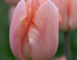 Tulipa 'Apricot Beauty' (Single Early Tulip Bulbs)