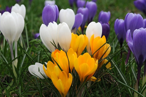 Image result for crocus flowers