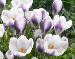 Crocus andapos;Prins Clausandapos; (species crocus bulbs)