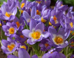 Click to view product details and reviews for Crocus Sieberi Subsp Sublimis Apostricolorapos Crocus Bulbs.