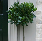 bay laurel (½ standard)