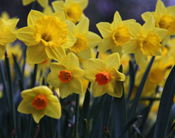 mixed narcissi for naturalising (mixed daffodil collection bulbs)