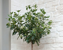 Click to view product details and reviews for Viburnum Tinus Laurustinus 1 2 Standard.