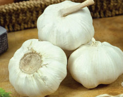 Click to view product details and reviews for Garlic Aposmarcoapos Garlic Bulb.
