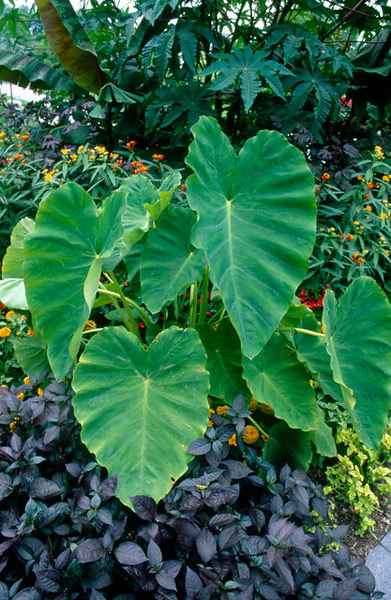 Buy Elephant S Ears Colocasia Esculenta Delivery By Crocus
