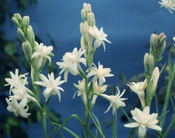 Polianthes Tuberosa (Tuberose)