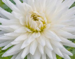 Click to view product details and reviews for Dahlia Aposmy Loveapos Semi Cactus Dahlia Tuber.