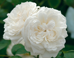 Rosa Winchester Cathedral ('Auscat') (Pbr) (Rose Winchester Cathedral  (Shrub))