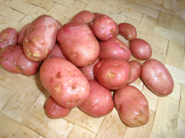 potato - early maincrop Scottish basic seed potato