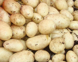 Click to view product details and reviews for Potato Aposmaris Piperapos Potato Early Maincrop Scottish Basic Seed Potato.