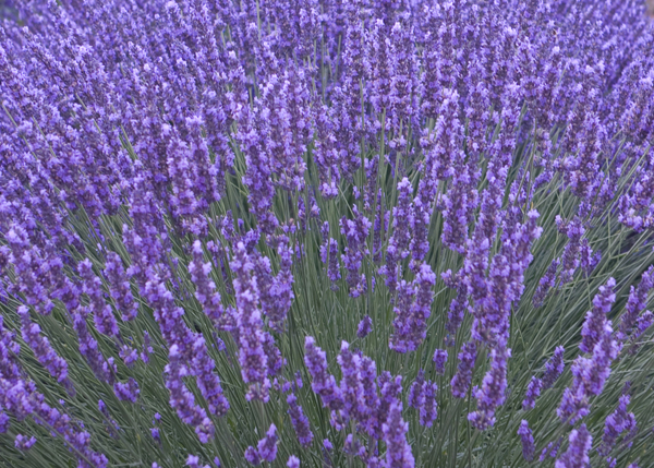 buy lavender lavandula angustifolia 39 munstead 39 delivery by crocus. Black Bedroom Furniture Sets. Home Design Ideas