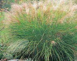 Buy Chinese silver grass Miscanthus sinensis 'Gracillimus