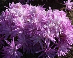 Colchicum 'Waterlily' (Autumn Crocus Bulbs)