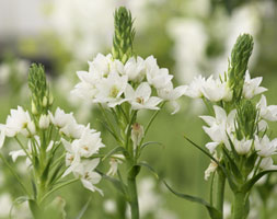 Ornithogalum thyrsoides (chinchierinchee bulbs)