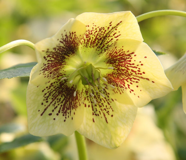 buy lenten rose hellebore helleborus  u00d7 hybridus  u0026 39 harvington yellow speckled u0026 39