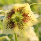 Helleborus × hybridus Harvington yellow speckled