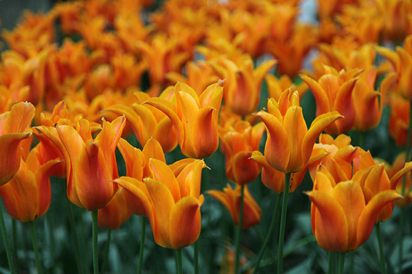 lily flowered tulip bulbs