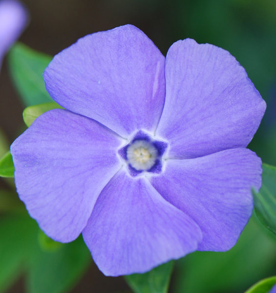 lesser periwinkle (syn. 'Bowles Variety')