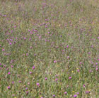 Wildflowers for a boggy meadow
