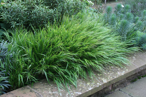 Buy hakonechloa hakonechloa macra for Small ornamental grasses for sun