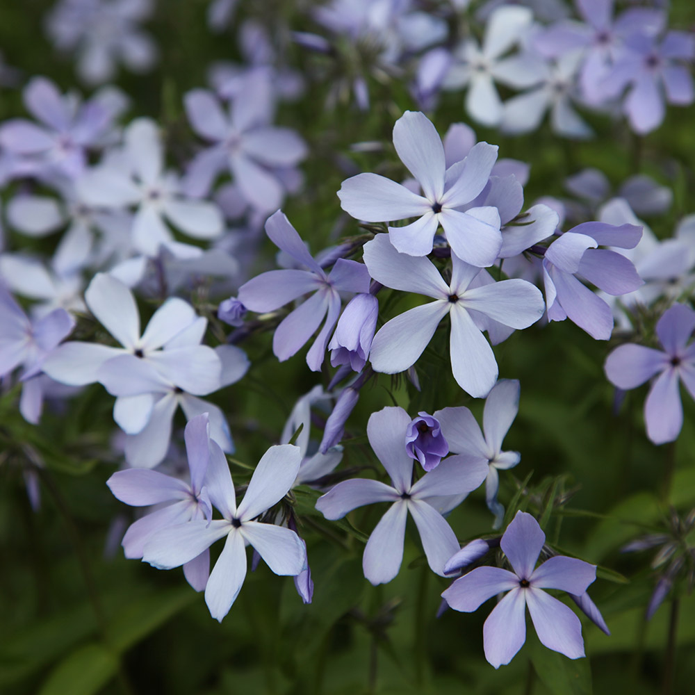 buy perennial phlox phlox divaricata 39 blue perfume 39 delivery by crocus. Black Bedroom Furniture Sets. Home Design Ideas
