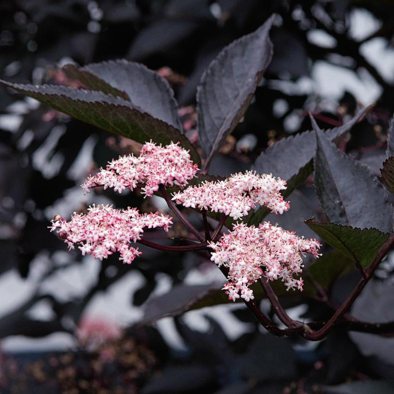 black elder  (syn. Black Lace)