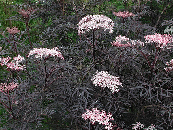 buy black elder syn black lace sambucus nigra f 39 porphyrophylla 39 eva 39 39 delivery by crocus. Black Bedroom Furniture Sets. Home Design Ideas