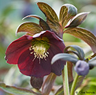Helleborus × hybridus Harvington Smokey Blues