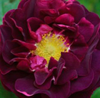 Rosa Tuscany Superb